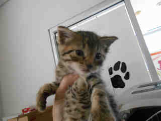 Mix-Bred DOMESTIC SHORTHAIR Male  Young  Kitten #A349694#  - click here to view larger pic