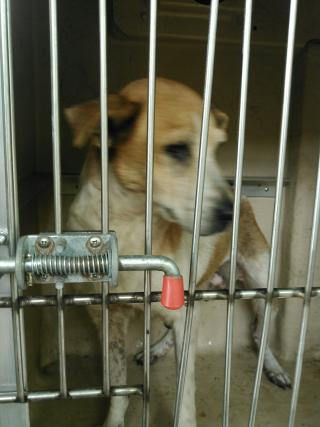 Mix-Bred LABRADOR RETRIEVER Female  Adult  Dog #A349779#  - click here to view larger pic