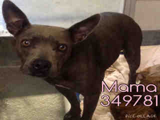 Mix-Bred PIT BULL TERRIER Female  Adult  Dog #A349781#  - click here to view larger pic