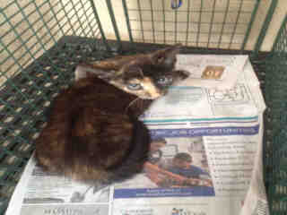 Mix-Bred DOMESTIC SHORTHAIR Female  Young  Kitten #A349831#  - click here to view larger pic