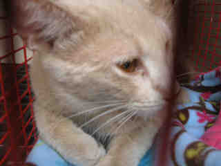 Mix-Bred DOMESTIC SHORTHAIR Male  Young  Kitten #A350014#  - click here to view larger pic