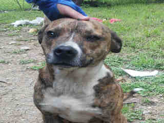 AMERICAN STAFFORDSHIRE TERRIER Male  Adult  Dog #A350023#  Animal Care Services (San Antonio) - click here to view larger pic