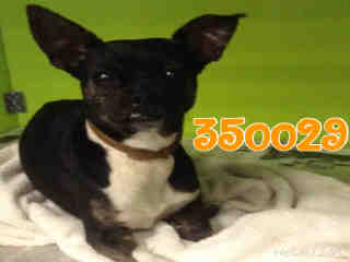 Mix-Bred CHIHUAHUA - SMOOTH COATED Female  Adult  Dog #A350029#  - click here to view larger pic