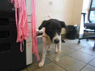 Mix-Bred BORDER COLLIE Female  Young  Puppy #A350179#  - click here to view larger pic