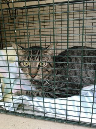 Mix-Bred DOMESTIC SHORTHAIR Male  Adult  Cat #A350259#  - click here to view larger pic