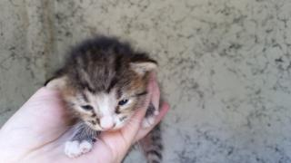 Mix-Bred DOMESTIC SHORTHAIR Male  Young  Kitten #A350595#  - click here to view larger pic