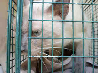 SIAMESE Male  Adult  Cat #A350650#  - click here to view larger pic