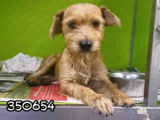 Mix-Bred TERRIER Female  Adult  Dog #A350654#  - click here to view larger pic