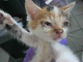 Mix-Bred DOMESTIC SHORTHAIR Female  Young  Kitten #A350735#  - click here to view larger pic