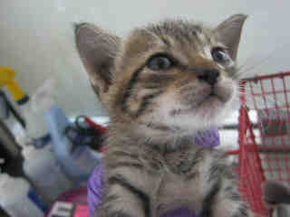 Mix-Bred DOMESTIC SHORTHAIR Male  Young  Kitten #A350739#  - click here to view larger pic
