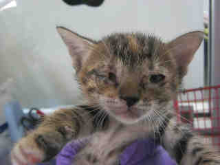 Mix-Bred DOMESTIC SHORTHAIR Female  Young  Kitten #A350741#  - click here to view larger pic
