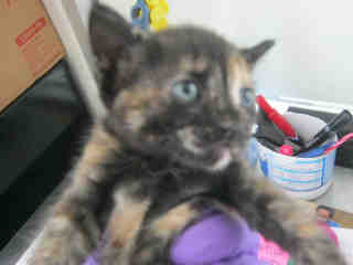 Mix-Bred DOMESTIC SHORTHAIR Female  Young  Kitten #A350742#  - click here to view larger pic