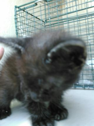 Mix-Bred DOMESTIC MEDIUMHAIR Male  Young  Kitten #A350777#  - click here to view larger pic