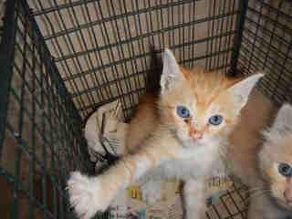 Mix-Bred DOMESTIC SHORTHAIR Male  Young  Kitten #A350849#  - click here to view larger pic