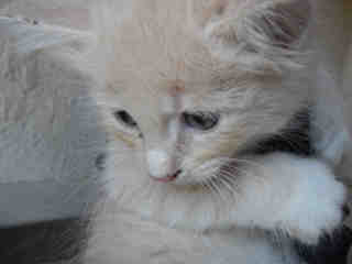 Mix-Bred DOMESTIC SHORTHAIR Female  Young  Kitten #A350850#  - click here to view larger pic