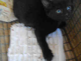 Mix-Bred DOMESTIC SHORTHAIR Female  Young  Kitten #A350851#  - click here to view larger pic