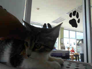 Mix-Bred DOMESTIC SHORTHAIR Female  Young  Kitten #A350886#  - click here to view larger pic