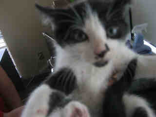 Mix-Bred DOMESTIC SHORTHAIR Male  Young  Kitten #A350901#  - click here to view larger pic