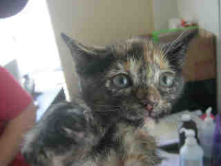 Mix-Bred DOMESTIC SHORTHAIR Female  Young  Kitten #A350902#  - click here to view larger pic