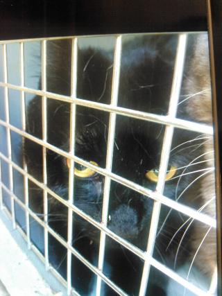 Mix-Bred DOMESTIC MEDIUMHAIR Female  Adult  Cat #A350953#  - click here to view larger pic