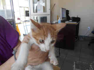 Mix-Bred DOMESTIC SHORTHAIR Male  Young  Kitten #A351569#  - click here to view larger pic