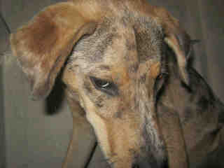 Mix-Bred CATAHOULA LEOPARD HOUND Male  Adult  Dog #A351602#  - click here to view larger pic