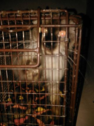 SIAMESE Female  Adult  Cat #A351603#  - click here to view larger pic