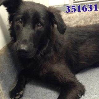 BELGIAN MALINOIS Male  Adult  Dog #A351631#  - click here to view larger pic