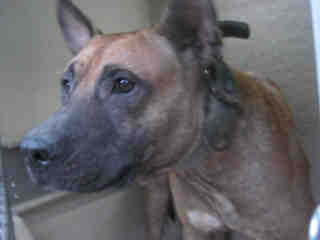 Mix-Bred BELGIAN MALINOIS Male  Adult  Dog #A351641#  - click here to view larger pic