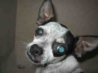 CHIHUAHUA - SMOOTH COATED Male  Adult  Dog #A351644#  - click here to view larger pic