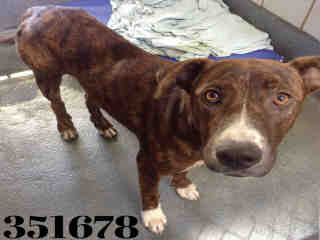 Mix-Bred PIT BULL TERRIER Male  Young  Puppy #A351678#  - click here to view larger pic