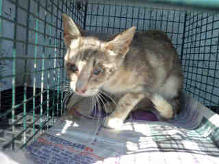 Mix-Bred DOMESTIC SHORTHAIR Female  Young  Kitten #A351700#  - click here to view larger pic