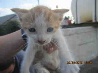 Mix-Bred DOMESTIC SHORTHAIR Male  Young  Kitten #A351724#  - click here to view larger pic