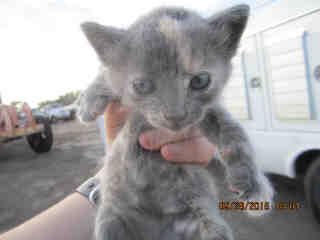 Mix-Bred DOMESTIC SHORTHAIR Female  Young  Kitten #A351725#  - click here to view larger pic