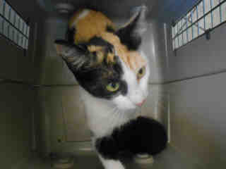 Mix-Bred DOMESTIC SHORTHAIR Female  Adult  Cat #A351754#  - click here to view larger pic