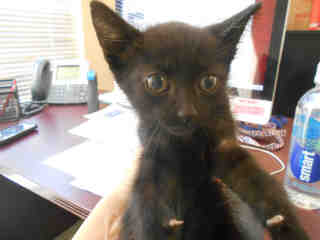 Mix-Bred DOMESTIC SHORTHAIR Male  Young  Kitten #A351755#  - click here to view larger pic