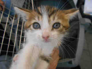Mix-Bred DOMESTIC SHORTHAIR Male  Young  Kitten #A351760#  - click here to view larger pic