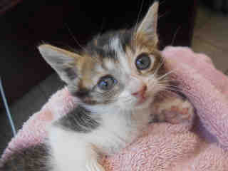 Mix-Bred DOMESTIC SHORTHAIR Female  Young  Kitten #A351762#  - click here to view larger pic
