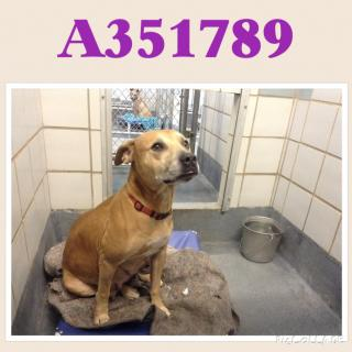 Mix-Bred AMERICAN STAFFORDSHIRE TERRIER Female  Adult  Dog #A351789#  - click here to view larger pic