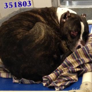 Mix-Bred AMERICAN STAFFORDSHIRE TERRIER Male  Adult  Dog #A351803#  - click here to view larger pic