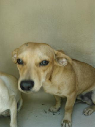 CHIHUAHUA - SMOOTH COATED Male  Young  Puppy #A351831#  - click here to view larger pic
