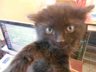 Mix-Bred DOMESTIC MEDIUMHAIR Male  Young  Kitten #A351836#  - click here to view larger pic