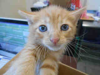 Mix-Bred DOMESTIC MEDIUMHAIR Male  Young  Kitten #A351837#  - click here to view larger pic
