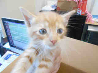 Mix-Bred DOMESTIC MEDIUMHAIR Male  Young  Kitten #A351839#  - click here to view larger pic