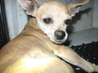 CHIHUAHUA - SMOOTH COATED Male  Young  Puppy #A351847#  - click here to view larger pic