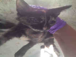 Mix-Bred DOMESTIC SHORTHAIR Female  Young  Kitten #A351859#  - click here to view larger pic