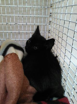 Mix-Bred DOMESTIC SHORTHAIR Male  Young  Kitten #A351888#  - click here to view larger pic