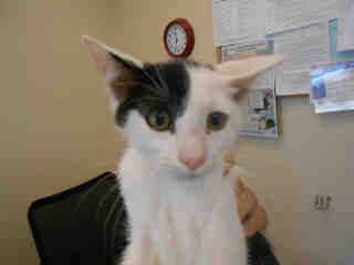 Mix-Bred DOMESTIC SHORTHAIR Male  Young  Kitten #A351892#  - click here to view larger pic