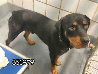 ROTTWEILER Male  Adult  Dog #A351979#  - click here to view larger pic