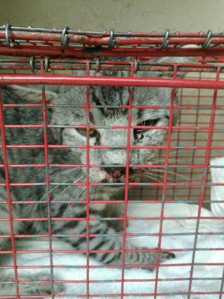 Mix-Bred DOMESTIC MEDIUMHAIR Male  Adult  Cat #A351990#  - click here to view larger pic